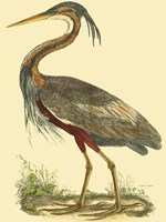 Small Purple Heron Fine Art Print