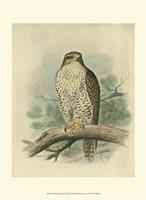 Iceland Falcon Fine Art Print