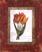 Tulip De Gesner Framed Print