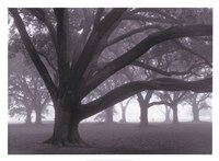 Oak Grove in Fog Fine Art Print