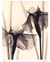 Japanese Iris Framed Print