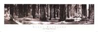 Giant Redwoods Fine Art Print