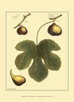 Fig Leaf I Fine Art Print