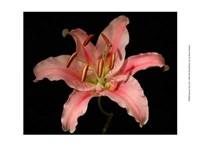 Dream Lilies III Fine Art Print