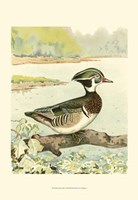 Woodduck Male Fine Art Print