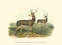 Columbian Black-tailed Deer Fine Art Print