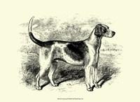 Foxhound Fine Art Print