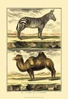 Zebra and Camel Fine Art Print