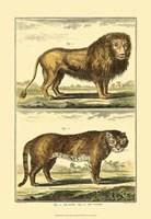 Lion and Tiger Fine Art Print