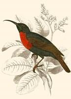 Hummingbird III Fine Art Print