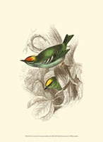 Fire-Crowned and Common Goldcrest Fine Art Print