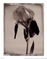 Sepia Iris Fine Art Print