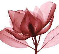 Red Magnolia I Framed Print