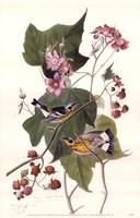 Magnolia Warbler Fine Art Print