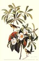 Bachman's Warbler Fine Art Print