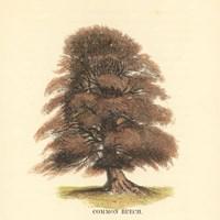 Common Beech Fine Art Print