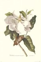 Magnolia Maxime Flore Fine Art Print