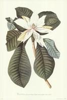 Magnolia Folis Oblongis Fine Art Print