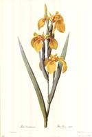 Iris Pseudacorus Fine Art Print