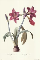 Amaryllis Brasiliensis Fine Art Print