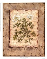 Vintage Herbs - Parsley Framed Print