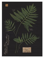 Sensitive Fern Fine Art Print