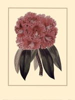 Regal Rhododendron Fine Art Print