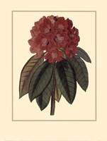 Rhododendron Rojo Fine Art Print