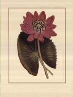 Water Lily Fantasmo Fine Art Print
