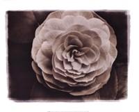 Camellia II Fine Art Print