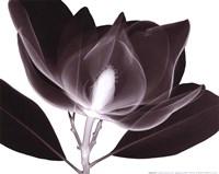 Magnolia (Sm.) Framed Print