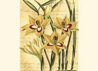 French Gladiola Fine Art Print