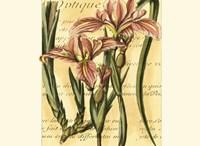French Iris Fine Art Print