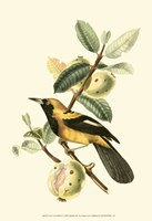 Cuvier Exotic Birds II Fine Art Print