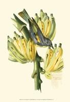 Cuvier Exotic Birds VII Fine Art Print