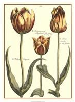 De Passe Tulipa II Fine Art Print
