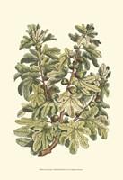 Fig Tree Branch Fine Art Print
