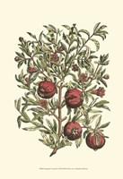 Pomegranate Tree Branch Fine Art Print