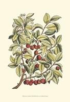 Cherry Tree Branch Fine Art Print