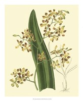 Antique Orchid Study II Fine Art Print
