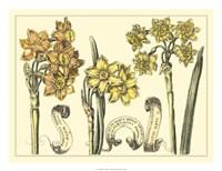 Narcissus in Bloom I Fine Art Print