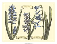 Hyacinth in Bloom Fine Art Print