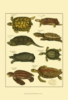 Tortoise Fine Art Print