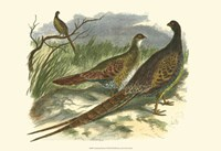 Semmering Pheasant Fine Art Print