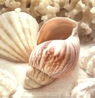 Coral Shell II Framed Print