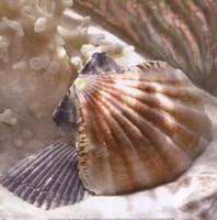 Coral Shell III Framed Print