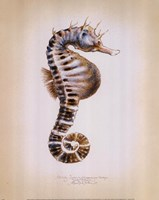 Potbelly Seahorse Framed Print