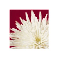 Chrysanthemum, White on Dark Red Fine Art Print