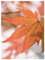 Red Leafs Fine Art Print