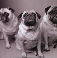 Three Pugs Fine Art Print